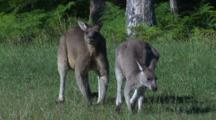 Two Eastern Grey Kangaroos Gather On The Margin Of A Forest