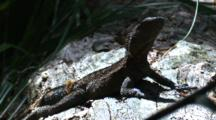 An Eastern Water Dragon Warms Up In The Sun