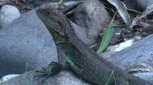 An Eastern Water Dragon Enjoys To Lie On Sun-Heated Rocks