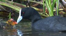 A Eurasian Coot Feeds Its Chick