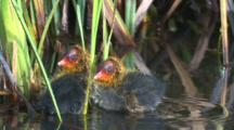 Two Coot Chicks Play Around In The Water