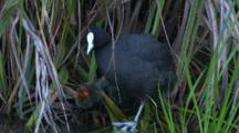 Three Eurasian Coot Chicks Stand At The Feet Of An Adult