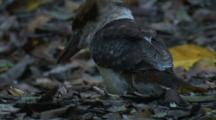 A Kookaburra Forages On The Forest Floor