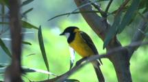 A Golden Whistler, Perched, Flies Off Towards The Camera