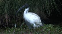 An Australian White Ibis Stands In A Swamp