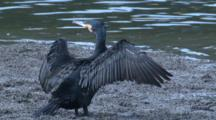 A Great Cormorant Dries Its Wings On A Mudflat