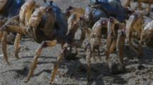 Soldier Crabs Filter Sand For Nutrients And Excrete Little Balls