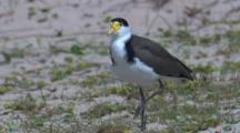 A Masked Lapwing In A Dune Area Watches Its Surroundings