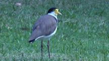 A Masked Lapwing Stands On Grass