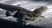 A Female Eastern Water Dragon Rests On A Board Walk