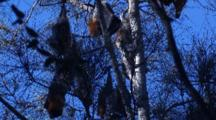 Fruit Bats Rest On Casuarina Trees During The Day