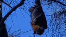 A Fruit Bat Rests On A Casuarina Tree During The Day