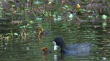 Eurasian Coot Feeds Its Chicks And Dives