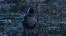 Eurasian Coot Preens In The Swamp