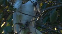 A Begging Cockatoo Chick On A Tree Climbs Towards Its Parent