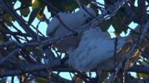 A Cockatoo Feeds Its Begging Chick On A Tree