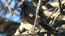 A 'willie Wagtail', Perched On A Branch, Preens Its Plumage