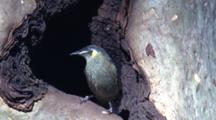 A Honeyeater Inspects A Possible Nesting Site