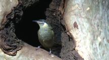 A Honeyeater Thoroughly Inspects A Possible Nesting Site