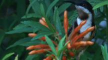 A Honeyeater Feeds On Tubular Flowers
