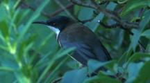 A Honeyeater, Perched On A Branch, Observes And Flies Off