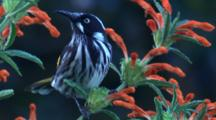 A Honeyeater Feeds On Pollen From Tubular Flowers