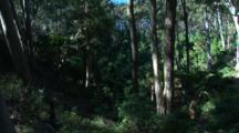 Open Spotted Gum Forest With Shrubby Understory