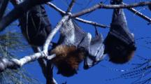 Fruit Bats Spend Their Day Day Hanging In Casuarina Trees