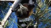 Fruit Bats Spend Their Day Hanging In Casuarina Trees