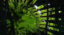 Fronds Of A Cabbage Palm Perish Quickly In Drought Conditions