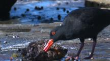An Oystercatcher Feeds On Beached Cunjevoi