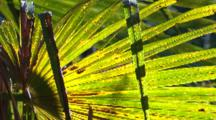 The Frond Of A Cabbage Palm Moves In The Wind