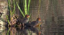 Eurasian Coot Chicks Rest On Water Plants