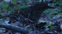 A Scaly Thrush Forages In Leaf Litter