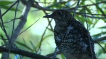 A Scaly Thrush Preens Its Plumage