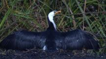 In The Most Effective Angle To The Sun A Cormorant's Plumage Dries Quickly
