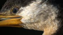 Ultra Close-Up Shot Of A Cormorant Observing
