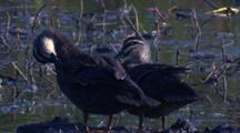 Two Pacific Black Ducks Preen In The Swamp