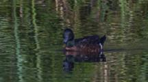 A Chestnut Teal Swims In A Pond With Reed Reflections