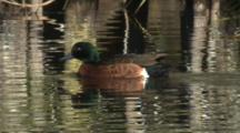A Male Chestnut Teal Skims The Water Surface With Its Beak
