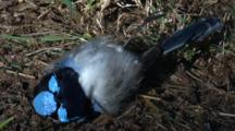 A Dead Fairy-Wren Lies On The Ground