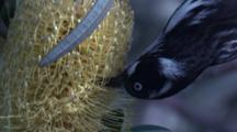 Very Close Shot Of A Honeyeater Feeding On Banksia Bloom