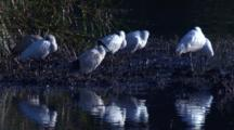 Spoonbills Snooze, While Ibises Preen Their Plumage