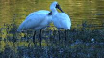 A Spoonbill Couple Forages In A Swamp