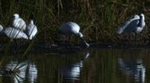 A Flock Of Spoonbills Gather In A Swamp