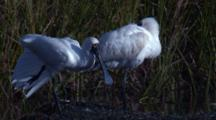 Two Spoonbills Snooze In A Swamp