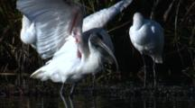 An Ibis Preens With Three Snoozing Spoonbills Behind