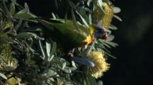 A Rainbow Lorikeet Feeds On Banksia Bloom