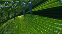 A Backlit Frond Of A Cabbage Palm