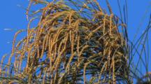 Flowering Casuarina Tree